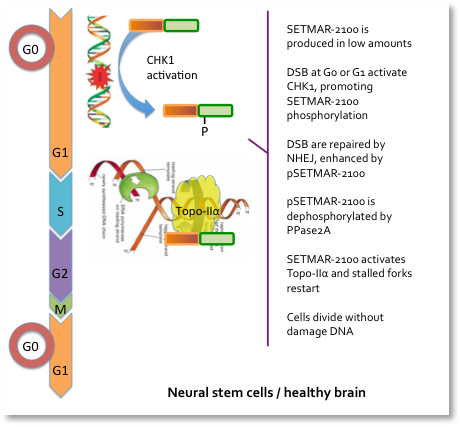 SETMAR protein